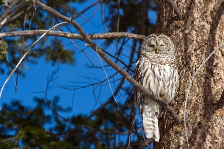 The forest owl