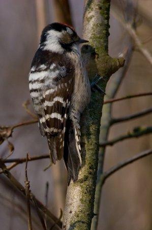 the Woodpecker
